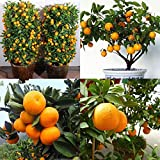 ZEROYOYO Mini Bonsai Tree Balcony Patio Potted Fruit Trees Juicy and Sweet Kumquat Seeds Tangerine Citrus Seeds
