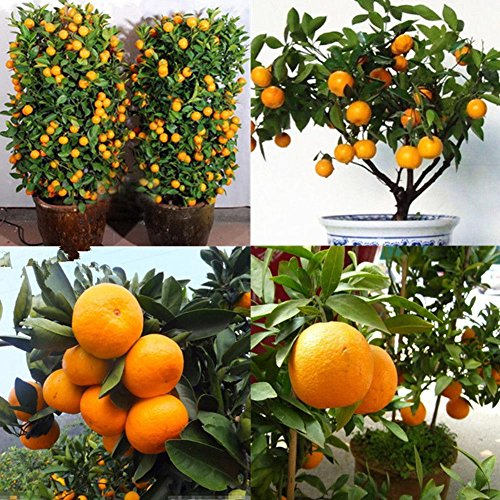 Zeroyoyo Mini Bonsai Tree Balcony Patio Potted Fruit Trees Juicy and Sweet Kumquat Seeds Tangerine Citrus Seeds by ZEROYOYO