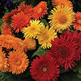 Outsidepride Gerbera Daisy Cartwheel Autumn Colors Flower Seed Mix - 20 Seeds