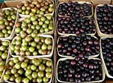 buy #1194 TAME GIANT MUSCADINE GRAPE MIX 7SEEDS now, new 2018-2017 bestseller, review and Photo, best price $1.80