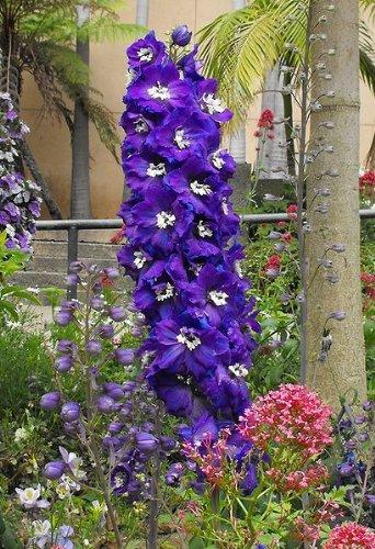 amazon com 500 purple rocket larkspur delphinium ajacis consolida