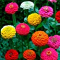 Zinnia- Cut & Come again Mix- 100 Seeds