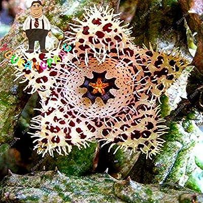 Exotic Rare Cactus Bonsai Stapelia Bonsai Mix Succulents for Home Garden Flower Bonsai 200 Pcs