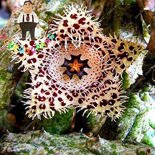 (Exotic Rare Cactus Bonsai Stapelia Pulchella Bonsai Lithops Mix Succulents for Home Garden Flower Bonsai 200 Pcs - (Color: 7))