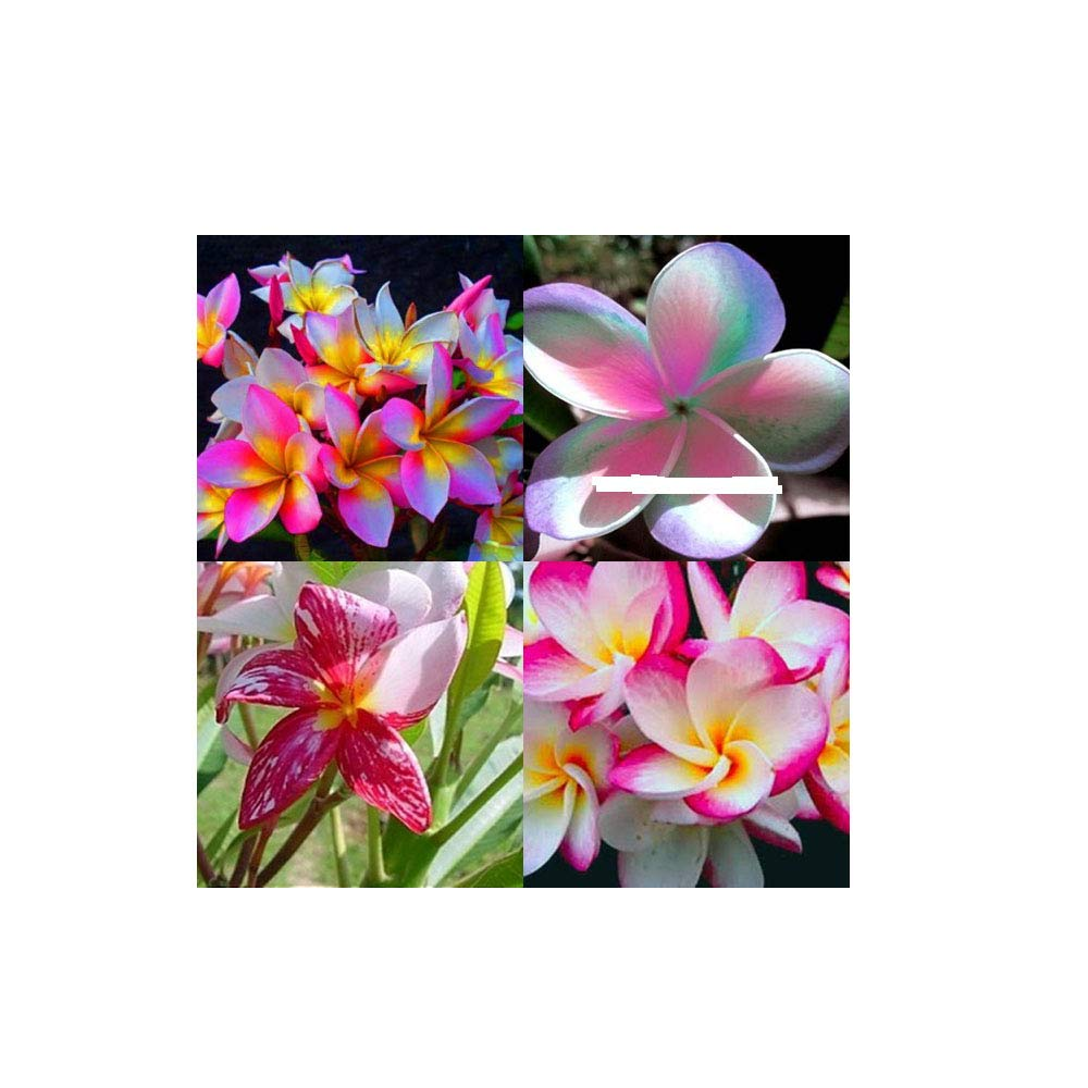 ''MIXED 4 CUTTING '' FRAGRANT PLUMERIA'S CUTTING WITH ROOTED 7-12 INCHES REGISTERED TRACK ONLINE 100%GUARANTEE SATISFICATION AND ...