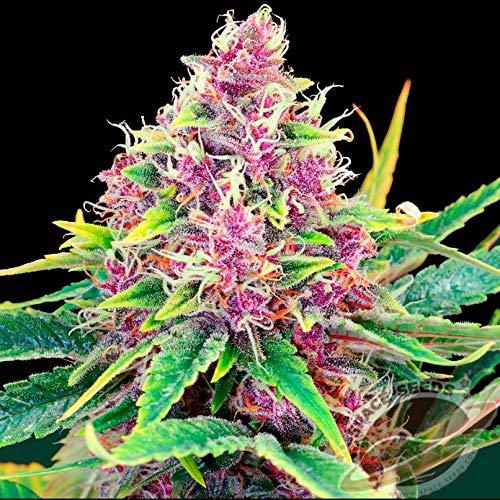 Weed Seeds Bank - 50pcs Purple Kush Feminized Marijuana Seeds high Yield with Aroma of Berries, Marijuana for Growing Female Plant Ornament Herbs