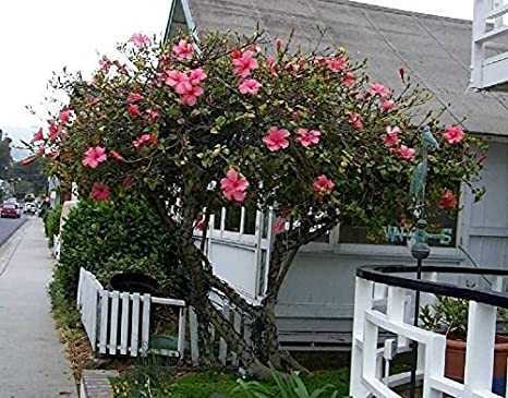 Amazoncom Hardy Hibiscus Seeds Kindle Pink Winter Hardy