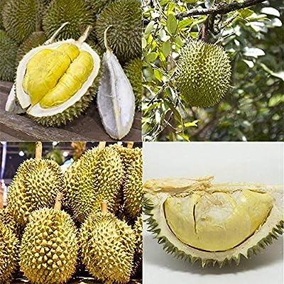 Erholi 20pcs Rare Durian Tree Seeds Bonsai Planting Home Farm Garden Fruits : Garden & Outdoor