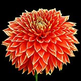 Parkland Glory Decorative Dinnerplate Dahlia - 2 Bulb Clumps