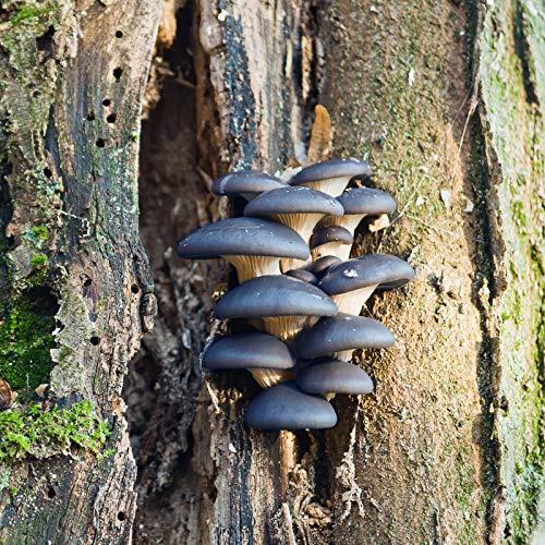 Oyster Plug - Mushroom Mojo Blue Oyster Mushroom Mycelium Plug Spawn - 100 Count Plugs - Grow Edible Gourmet & Medicinal Blue Oyster Fungi On Trees & Logs - Pleurotus ostreatus