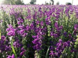 Salvia Farinacea Blue Calyx Sage 400 Seeds