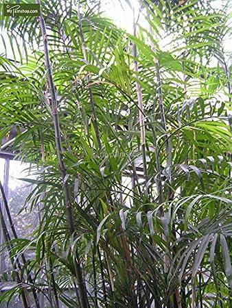 Zimmerpalme Chamaedorea Seifrizii Bambuspalme Verschiedene