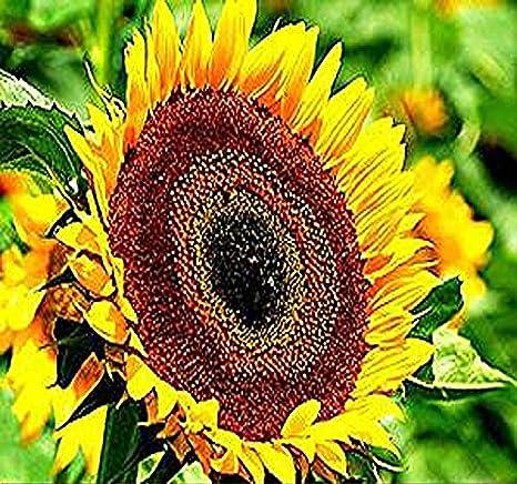 Amazon 50 X Taiyo Sunflower Seed Orange Yellow Flowers With
