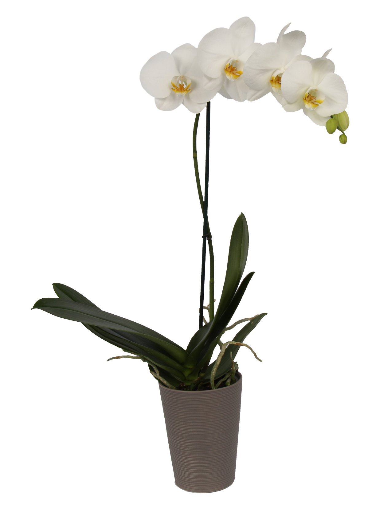 Color Orchids AMZ1101DGY1W Live Blooming Single Stem Phalaenopsis Orchid Plant in Ceramic Pot, 20''-24'' Tall, White Blooms