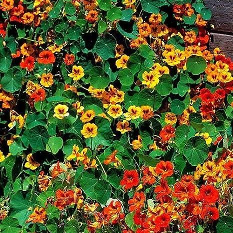 Ohhsome Flower Seeds Nasturtium Mix Flower Seeds Seasonal
