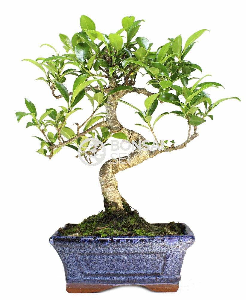 Bonsai - Ficus, 6 Años (Bonsai (Bonsai (Bonsai Sei - Ficus Retusa) 83f202