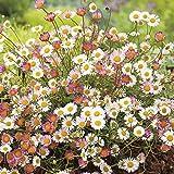 Cicitar Garden - Rare Mexican Fleabane Erigeron karvinskianus, Australian Daisy, Hardy Perennial Flower Seeds for rockeries