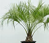 4 Seeds Peach Palm Bactris gasipaes rare tropical from Amazon Rainforest bright green palm leaves Perfect Houseplant Container Gardening Review
