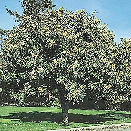 Amazon.com : Chinese Chestnut Grow Your Own Weeping Willow Trees ...