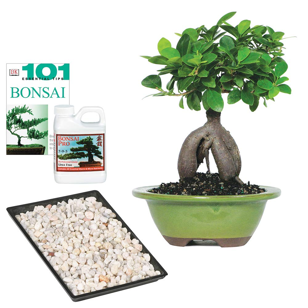 Brussel's Bonsai Live Gensing Grafted Ficus Indoor Bonsai Tree - 4 Years Old 6'' to 8'' Tall with Decorative Container by Brussel's Bonsai