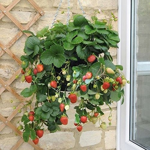 (Temptation Strawberry 50 Seeds Grow These Lucious Berries Every Year After)