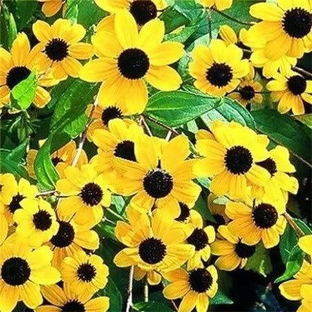 500 BROWN EYED SUSAN Rudbeckia Triloba Flower ()