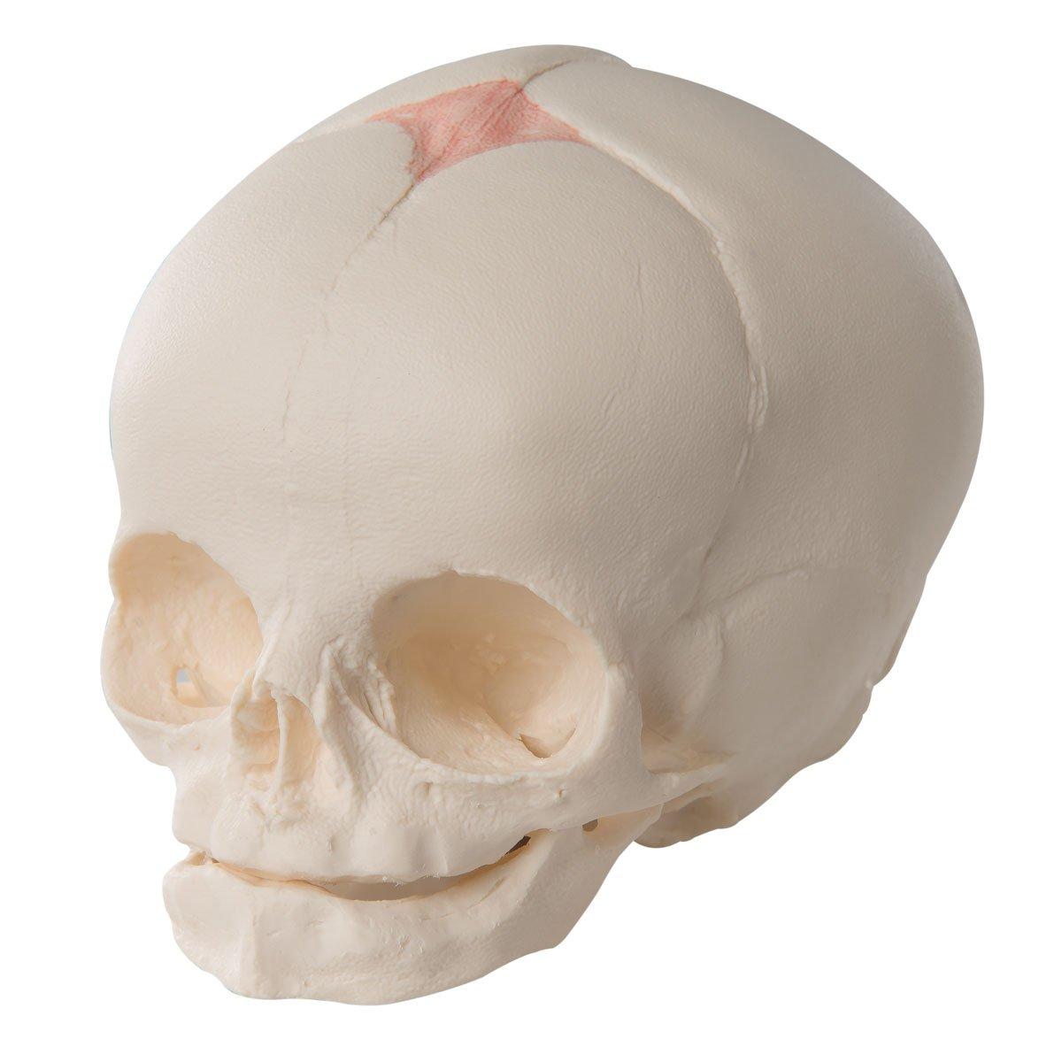 3B Scientific Human Anatomy - Fetal Skull Model: Amazon.co.uk ...