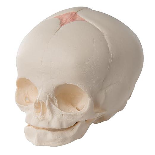 ec95b769b 3B Scientific A25 Modelo de anatomía humana Cráneo de Feto  Amazon.es   Industria