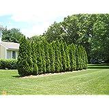 Amazing Plants emerald Green Arborvitae, 1-2',