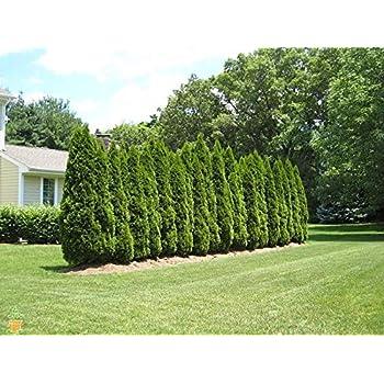 amazon com amazing plants emerald green arborvitae 1 2 garden