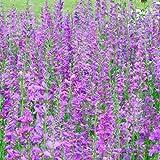 Rocky Mountain Penstemon Seeds - Packet, Blue/Purple Flowers