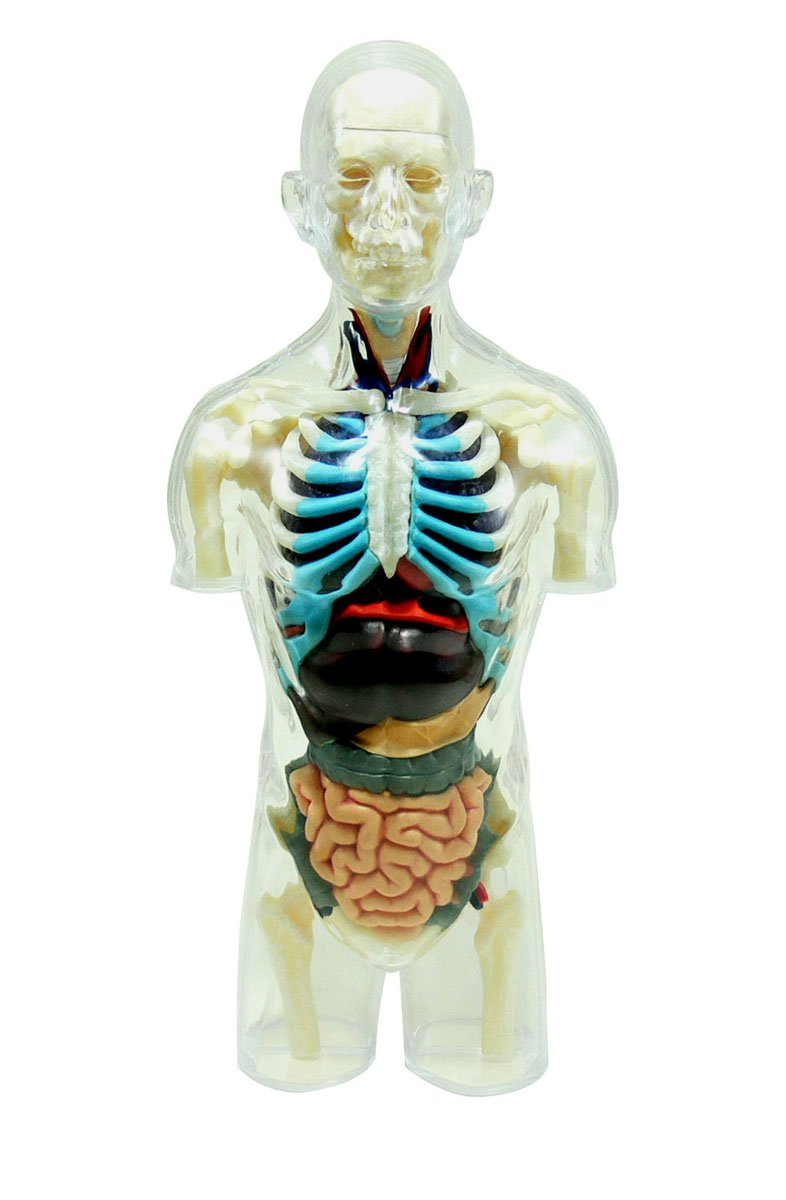 Amazon.com: Body Anatomy Skeleton Model (Plastic model): Toys & Games