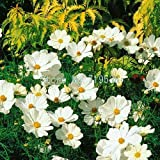 AGROBITS Cosmos Bonsai Sonata Series Multicolor into 50pcs: 2