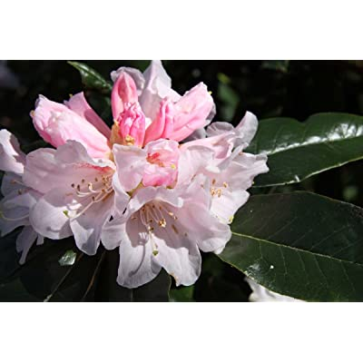 Rhododendron Teddy Bear One Gallon Plant : Garden & Outdoor