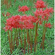 5 Bareroot Red Surprise Lily/ Resurrection Lily/ Naked Lady/ August Lily/ Lycoris Raidanti/ Red Spider Lily