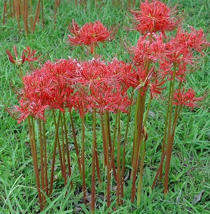 (5 Bareroot Red Surprise Lily/ Resurrection Lily/ Naked Lady/ August Lily/ Lycoris Raidanti/ Red Spider)