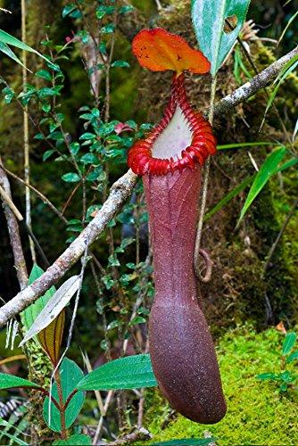 Nepenthes Edwardsiana ~ Splendid Pitcher Plant ~ Spectacular Carnivorous Plant ~ Extremely RARE LIMITED 3 SEEDS ~ ()