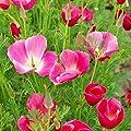 David's Garden Seeds Flower Poppy California Carmine King 3441 (Pink) 500 Open Pollinated Seeds