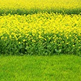 Outsidepride Black Mustard Plant Seeds - 5000 Seeds
