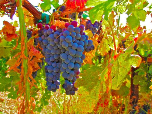 50-lb-Calfornia-Merlot-Grapes-100-All-Natural-Not-From-Concentrate-Milla-Vineyard-Merlot-2013-Fresno-Frozen-Grape-Must-for-Winemaking-WineGrapesDirect