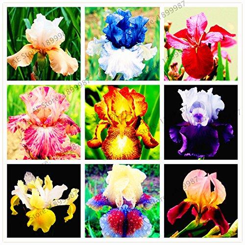 50pcs/bag Iris seeds,perennial bonsai Plant butterfly iris flower seeds for home garden planting,easy to grow