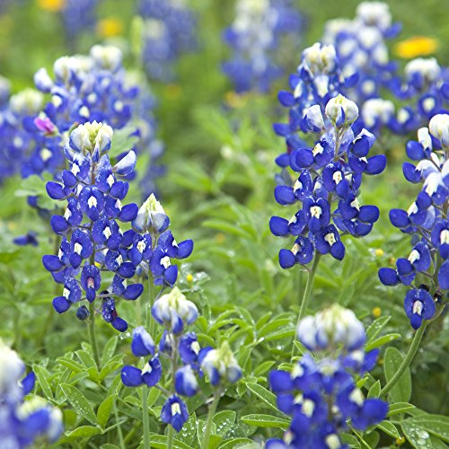 Outsidepride Texas Bluebonnet Wildflowers Seed - 1 LB by Outsidepride (Image #1)