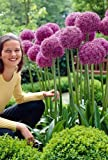 Gladiator Flowering Onion Allium 2 Bulbs - Deer Proof!