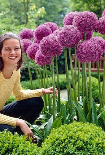 gladiator-flowering-onion-allium-2-bulbs-deer-proof