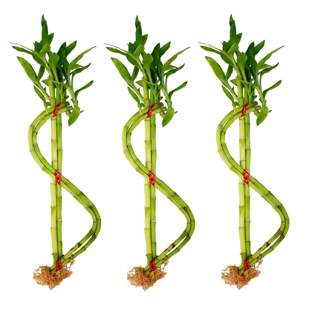 NW Wholesaler - Live Lucky Bamboo Money Sign House Plant - Lucky Money Plant (3)