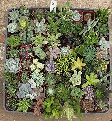 jiimz 20 mixed succulent