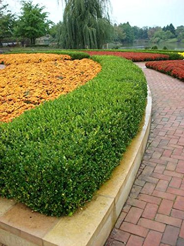 Dwarf English Boxwood - 2 Gallon by Brighter Blooms (Image #2)