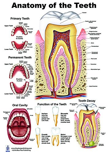 Human Tooth Names Unit Studies Made Easy Free Printables The