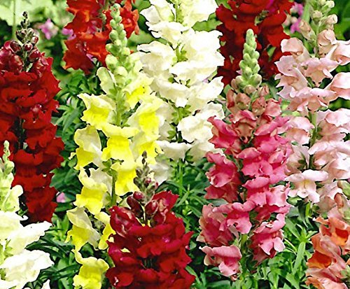 Nianyan Mixed colorful Snapdragon (Antirrhinum Majus) Giant Ruffled Tetra Mix an Excellent Cut Flower for Brilliant Display Drought Tolerant Appro -1000 seeds