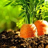 Wintefei 100Pcs Carrot Seeds Organic Vegetable Balcony Potted Plant Home Garden Decor